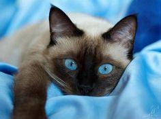 Une très belle photo ! Les grands yeux bleu de ce Chat Siamois sont de la même couleur que le tissu sur lequel il est couché !!