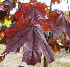 Buy Acer platanoides Crimson King (Norway Maple) online from Jacksons Nurseries