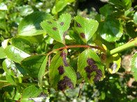 Rose black spot is a fungal disease that is prevalent in wet weather, spreading by water splash in wet, windy conditions. Regular treatment with a fungicide is required, but removing infected leaves and pruning out diseased wood also helps. Catalogs list roses that are more resistant to this disease than others are; while these are worth considering, no rose is completely immune.