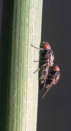 Lipara similis Cigarillo gall-fly Moth, Insects, Animals, Animales, Animaux, Animal, Animais
