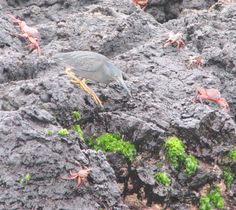 lava heron and sally lightfoot crabs