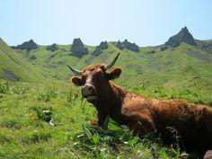 cow / vache, Auvergne