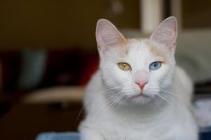 Kucing Anatolian In 2021 Cats Great Cat Cat Breeds