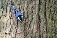 A Photo in the life of: White Breasted Nuthatch. He caught a Wasp!