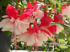 Fuchsia hybrida is deservedly a popular house plant. There are hundreds of named hybrids – in nearly all cases the colour is derived from both the showy sepals and petals, which may or may not be the same colour. These are the familiar Fuchsia flowers – single, semi-double or double bells on soft-stemmed bushes.