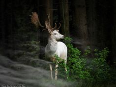 Morning hour: This fascinating photo from Georg May shows a white fallow deer standing in ...