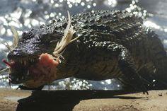 Photograph Of Crocodile Feeding