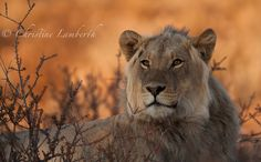 Early morning light does wonders to photographs on the red Kalahari Sands. Photo taken in the Kgalagadi Transfrontier Park By Christine Lamberth Morning Light, Photographs, Photos, Sands, Early Morning, Wildlife, African, Park, Red