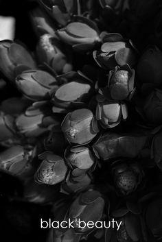 black beauty • florist donaflor Black Beauty, Dark Beauty, Ebony Beauty