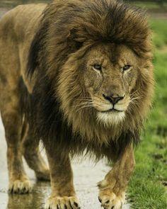 Amazing big beautiful male Lion