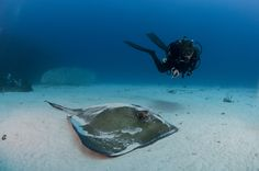 A massive southern stingray hanging out in the sand near the Chikuzen wreck off Virgin Gorda in the British Virgin Islands. Check out the Dive Traveler app for more galleries from the BVI.