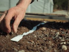 ruban à graines semis