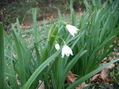 Growing Snowflake Leucojum: Learn About Spring & Summer Snowflake Bulbs (Teehee! Tinkerbell flowers!)