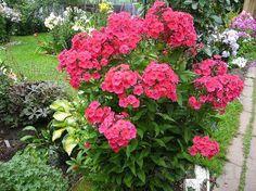 Флоксы кустовые различных расцветок