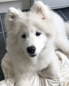 American Eskimo Dog Dog Breed Information, Popular Pictures Samoyed Dogs, Pet Dogs, Dog Cat, Doggies, English Cocker Spaniel, Cute Puppies, Dogs And Puppies, Animals And Pets, Cute Animals