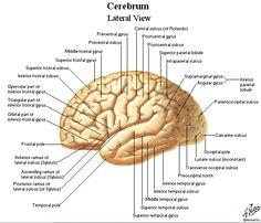 Anger and traumatic brain injury frontal lobe brain and ranges lateral brain gyri sulci ccuart Choice Image