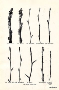 Tree Branches Buds