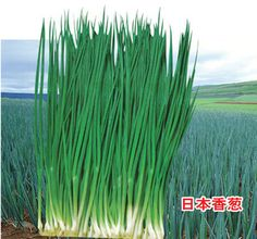 Japan alone root vegetable nutrition small shallot seeds 100seed
