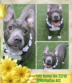 ‼️ LISTED TO DIE 4/12/18‼️ 3.29.18 Meet Lola Bunny ID# 23710 @Manhattan Animal Care Center All animals are microchipped, vaccinated, and spayed or neutered before adoption. SEE L... - Tina Behla - Google+