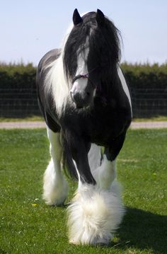 Gypsy Vanner Stallion ~ Beautiful Horses My favorite horse! Big Horses, Cute Horses, Pretty Horses, Horse Love, Majestic Horse, Majestic Animals, Most Beautiful Horses, Animals Beautiful, Clydesdale Horses