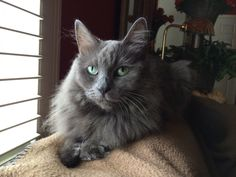 Our Nebelung cat - Cindy