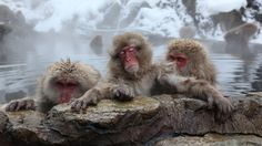 Japanese Macaque monkeys, also called snow monkeys, relax in the hot springs at the Jigokudani Monkey Park in Yamanouchi, Japan. They visit the springs to escape the cold. The park is open to visitors in winter between 9am and 4pm. (Koichi Kamoshida/Getty Images)   50 Stunning Places to See in Japan (PHOTOS)   The Weather Channel