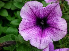petunia  'Easy Wave Plum Vein'