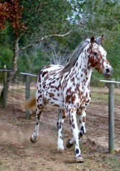 Tattoos And Animals: What an unusual coat, Looks like a bay Knabstruppe...