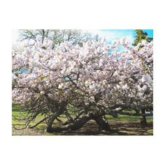 Spring Cherry Blossoms Floral Canvas Print