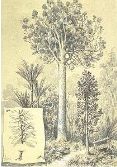 Totara tree was put to multiple uses by. Kauri Tree Tattoo