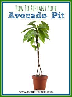 How to replant your avocado pit - regrow avocado?  Who knew!?  #garden #avocado