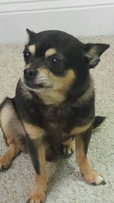 favorite this post Lost Black Chihuahua (Hartford) hide this posting image 1 of 2   Last seen around the Flatbush Ave area around Mary hooker school block. He has a bad rear leg he's walking with limp he needs his medication , he's wearing a grey flee collar, please contact if you seen him. Thank you 8609160804