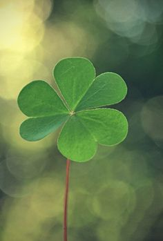 clover luck- did you know the three leaves symbolize the holy trinity? Klavertje vier brengt dan weer geluk -x- Photographie Macro Nature, Plascon Colours, Impression Poster, Nova Era, Irish Blessing, Irish Eyes, Luck Of The Irish, Bokeh, Shades Of Green
