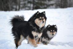 Finnish Lapphund - Breed Profile | Australian Dog Lover