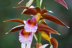 https://images.fineartamerica.com/images-medium-large-5/phaius-tankervilliae-orchid-blair-wainman.jpg