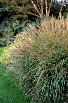 "Perennials: Maiden Grass Genus: Miscanthus sinensis 'Adagio' Zones: 5 to 9 ""This grass forms a light, airy four-foot-tall mound and grows really well in otherwise tough and dry sites. Plants, Planting Flowers, Shrubs, Easy Plants To Grow, Perennials, Outdoor Plants, Yard Landscaping, Garden Shrubs, Outdoor Gardens"