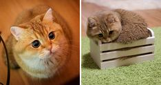 """Hosico - The real puss in boots <3  """"WhenHosico was little, he was so cute and funny that we decided to share his photos on Instagram. Little by little more and more followers joined the Hosicofan club and now he's loved by the whole world. Everybody likes that he's gold and fluffy"""""""