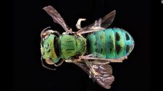 This male bee comes from Oahu, Hawaii. CNN 'The amazing diversity of bees'