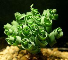 Albuca spiralis : une plante aussi belle qu'intrigante.