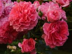 Rosarium uetersen. Hardy Rose for Zone 4.  Also has other hardy rose varieties .
