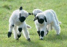Valais Blacknose Sheep For Sale in All States! Cute Sheep, Sheep Farm, Sheep And Lamb, Farm Animals, Animals And Pets, Cute Animals, Garden Animals, Animal Fun, Fluffy Animals