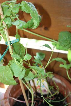 Ordentlicher Wuchs in Tütchen 3. Plant Leaves, Herbs, Plants, Flowers, Herb, Plant, Planets, Medicinal Plants