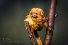 monkey by CraigSellars #animals #animal #pet #pets #animales #animallovers #photooftheday #amazing #picoftheday