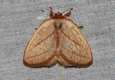 https://flic.kr/p/AWdsPX | Cania (Minicania) minuta Holloway, 1986 (Limacodidae) | Borneo, Trusmadi area, 1150m