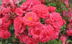 Rose Bad Birnbach