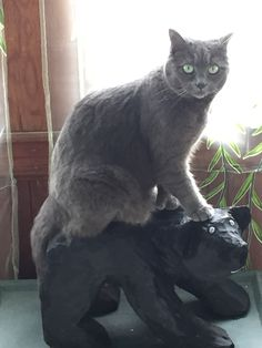 Korat Cat, Russian Blue Kitten, Blue Cats, Cute Cats And Kittens, Miraculous, Cute Animals, Kitty, Pearl, Friends