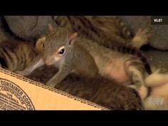 incredibile, scoiattolo adottato da un gatto impara a fare le fusa!