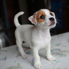 Jack russell terrier puppies are just pure happiness Chien Jack Russel, Jack Russell Terrier, Baby Animals, Funny Animals, Cute Animals, Cute Puppies, Dogs And Puppies, Adorable Dogs, Pet Dogs
