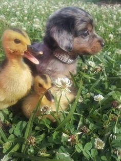 "Duckling, far left:  ""Don't worry, I know this clover field like the back of my webbed foot; you two just follow me..."""