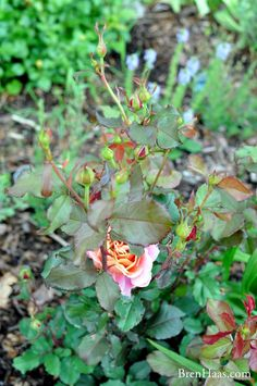 Here's How To Grow Roses